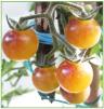 Amethyst Cream Cherry